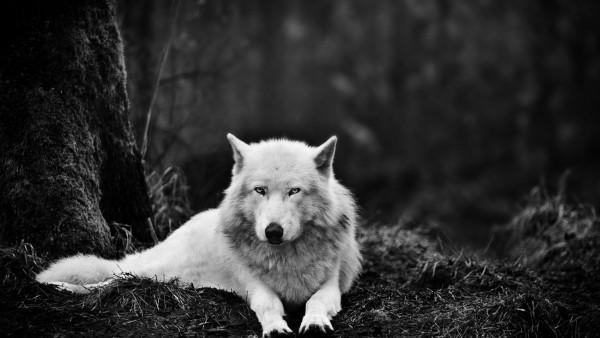 черно белые картинки волков
