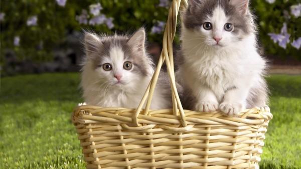 Милые котята в корзинке обои