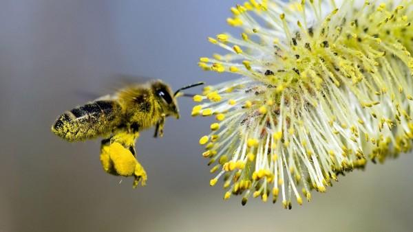 Пчела собирает пыльцу с цветка бесплатные обои