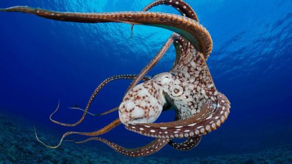 Осьминог, океан, моллюски, кораллы, обои