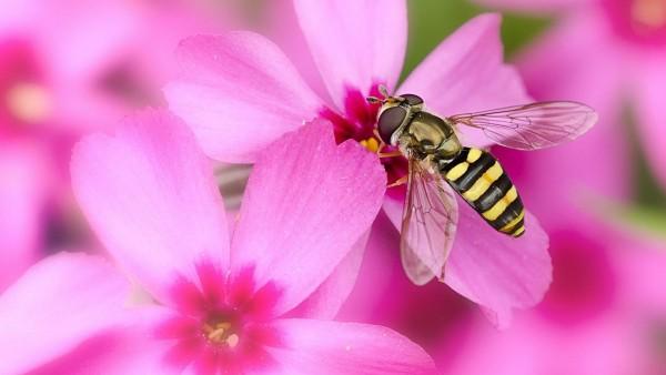 Розовый цветок, пыльца, пчела, мед