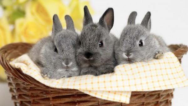 три кролика серые hd обои скачать