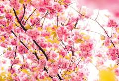 Цветущая вишня дерево обои 4K 3840x2160