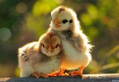 Два милых цыпленка