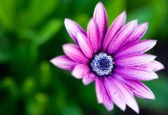 Маргаритка цветок картинки