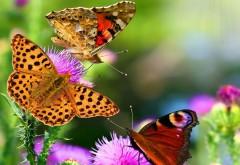 Бабочки, hd, заставки