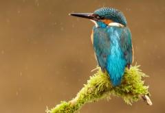Синий зимородок птица картинки для рабочего стола