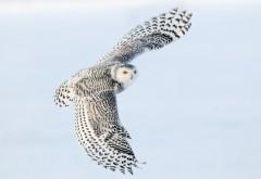 Снимок в высоком качестве белой совы парящей в небе
