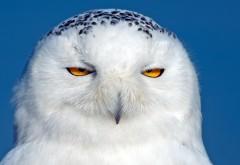 Смешная сова, Полярная птица, хищник, глаза, прикольные