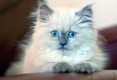 Котенок, пушистый, голубоглазый, милый, картинки, обои H…