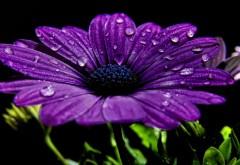 Фиолетовая хризантема макро обои скачать