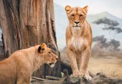 Африканские львицы картинки на рабочий стол