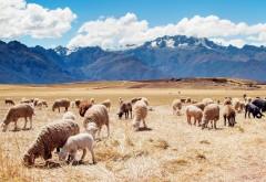 Перу, овцы, поля, горы, небо