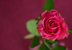 Розовая роза заставки