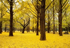 Падение Гинкго, Деревья, Осень, Япония, пора года, HD, лис…
