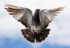 летящий голубь, небо, облока, птичка