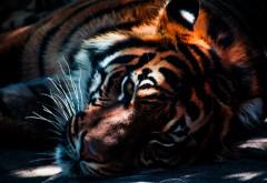 Тигр крупным планом фото