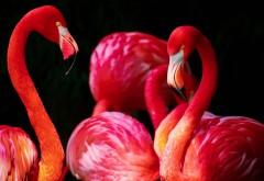 Красивые обои фламинго hd на рабочий стол