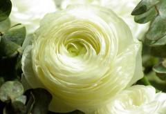 Скачать Персидский Лютик белый цветок HD