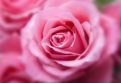 красивый розовый цвет розы скачать обои бесплатно