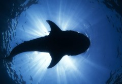 Акула, силуэт, подводные океан, море, солнечный свет