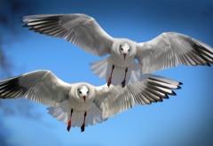 чайки,крылья, небо, полет, птицы