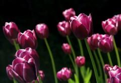 Весной розовые тюльпаны обои hd