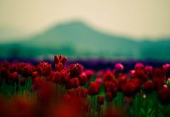 Поле красных тюльпанов макро обои на рабочий стол