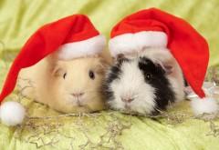Пушистые новогодние морские свинки