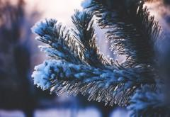 Ветка хвойного дерева покрытая снегом обои HD