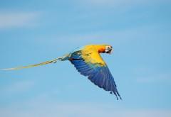 Летающая ара попугай в небе обои широкоформатные