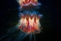 Волосистая цианея медуза красивые обои hd подводного м�…