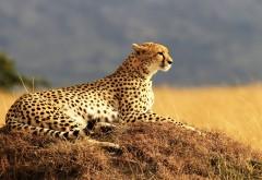 cheetah_4k-2560x1600-min