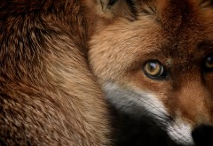 red_fox-2560x1600-min