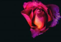 Роза на черном фоне обои 4K