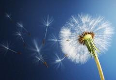 dandelion, flower, одуванчик, цветок, фото