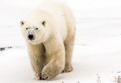 Белый медведь обои HD