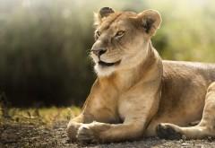 Африканский лев обои HD