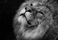 Лев черно-белые картинки