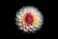 Красивый белый цветок георгина обои 4K