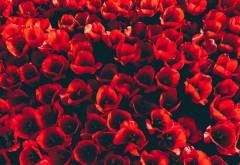 Красные тюльпаны обои HD