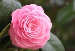 Шикарная розовая камелия