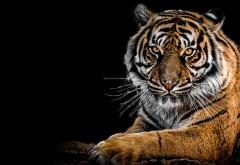 Тигр картинки
