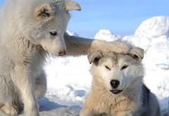 Две собачки хаски в холодную стужу