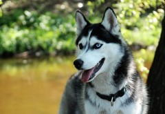 Фото собаки породы Хаски