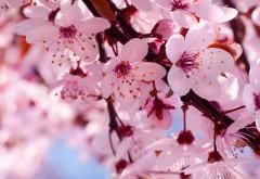 Фото цветущего дерева вишни весна