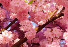 Цветение вишни дерева, лепестки розового цвета