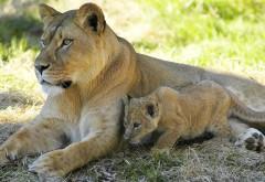 Львица со львёнком HD фото