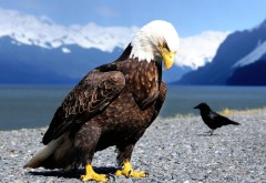 Белоголовый орел на берегу