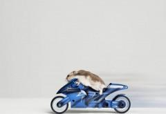 Хомяк на мотоцикле, смешные обои